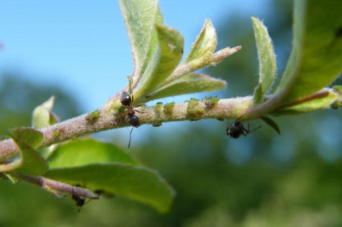 Hormigas Comestibles